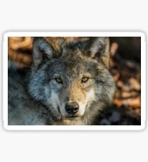 Timber Wolf - Looking at you. Sticker