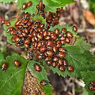 Ladybugs cluster on bramble leaves by David Chesluk