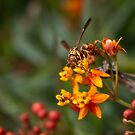 Wasp on milkweed by Celeste Mookherjee