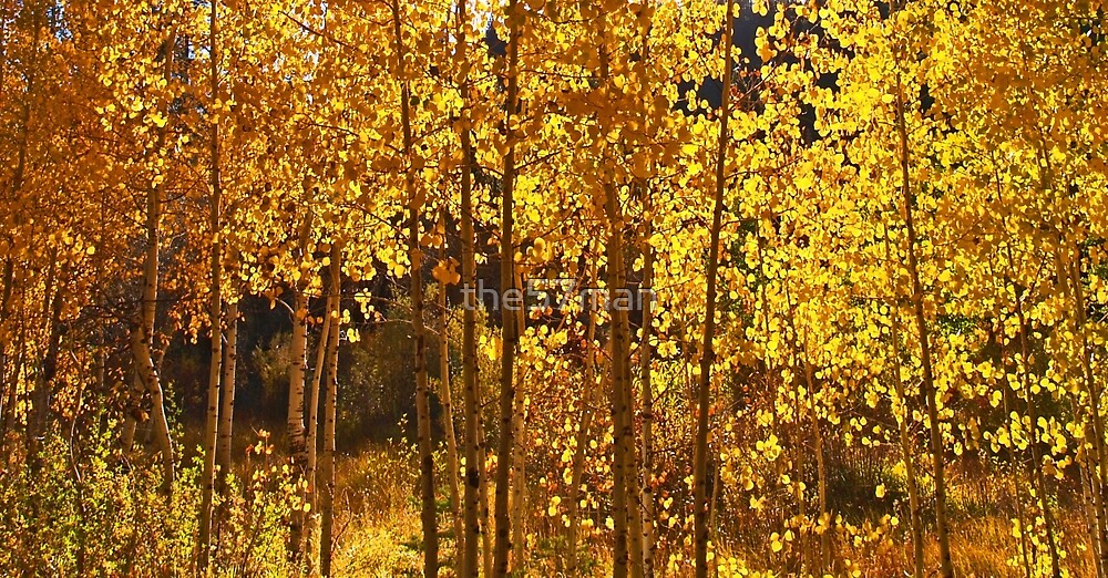 Golden Aspen by the57man