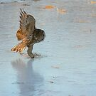 Touch down ~ The Great Grey Owl by Jeannine St-Amour