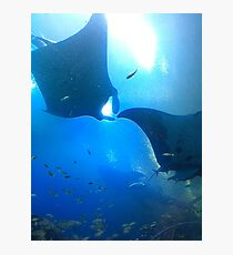 A pair of rays (manta rays) Photographic Print