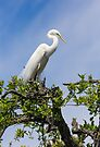 Great Egret Atop Tree by Kenneth Keifer