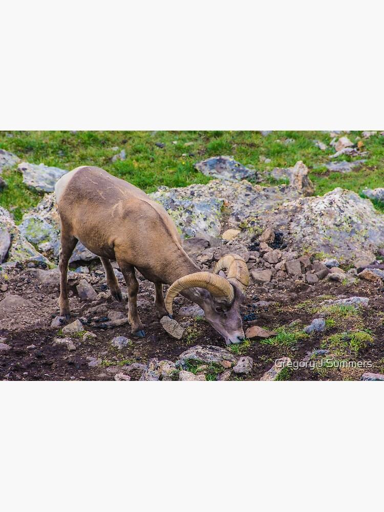 Rocky Mountain Big Horn Sheep by nikongreg