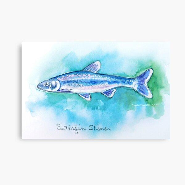 satinfin shiner Canvas Print