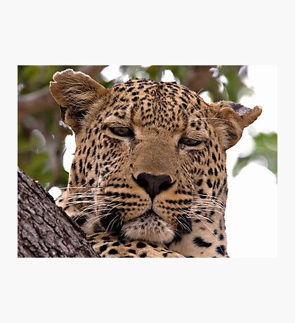 Tumbela, Male Leopard Photographic Print