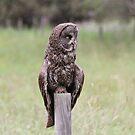 Great Grey Owl I by Kathi Huff