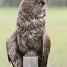 Great Grey Owl V by Kathi Huff