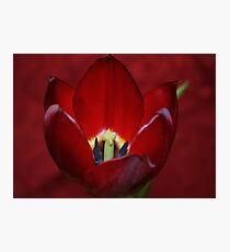 Tulip Dressed in Red Photographic Print