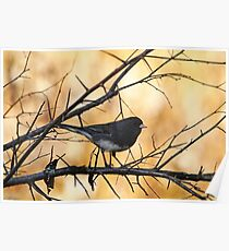 Autumn Junco Poster
