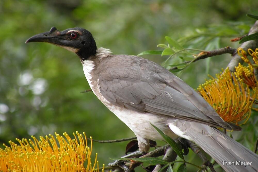 Noisy Friarbird by Trish Meyer