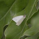 Cabbage white butterfly by richeriley