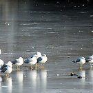 Gulls On Pond by BonnieToll