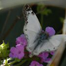 Fast Little Butterfly by Navigator