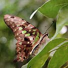 Tailed Jay Butterfly by Astrid Ewing Photography