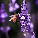 Fragrant Lavender by Kym Howard