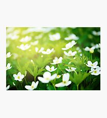 Nature background with little white flowers  Photographic Print