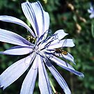 Bee On Chickory by BonnieToll