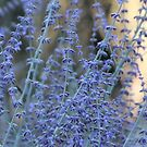 Russian Sage by Kathi Huff
