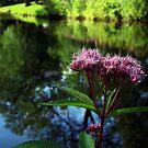 Eupatorium maculatum joe pye weed  by BonnieToll