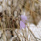 Bluebells in the Snow by Kathi Huff