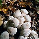 lycoperdon perlatum  by BonnieToll