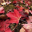 Maple Leaf by BonnieToll