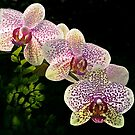 Spotted orchids by cclaude