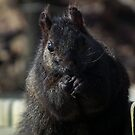 Black Squirrel  by BonnieToll