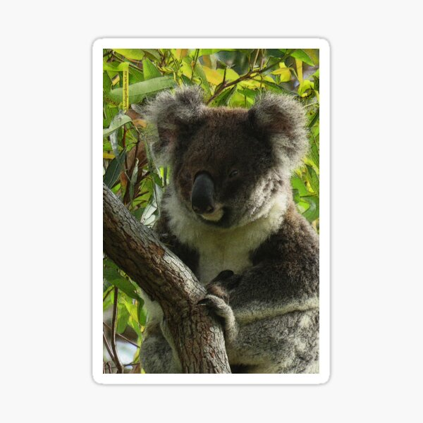 Koalas are priceless Sticker