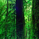 Three Old Growth Trees by TaiChiJohn