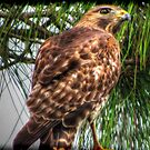 Sir Hawk by Noble Upchurch