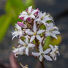 Bogbean by MikeSquires