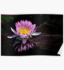 Water Lily, pink and yellow Poster