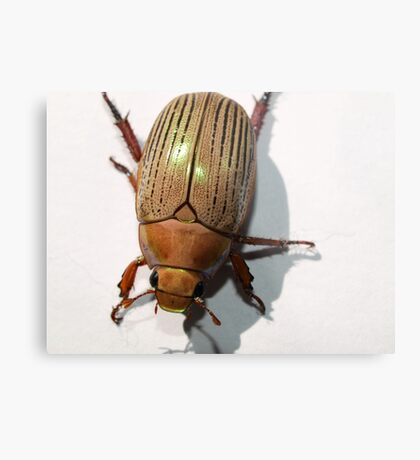 Christmas Beetle Metal Print