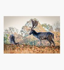 Fallow Deer being cheeky! Photographic Print