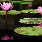 Pond Water Lilies by Jason Pepe