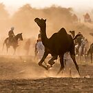 Angry Camel by Mukesh Srivastava