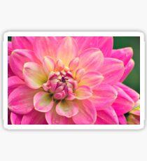 Beautiful Pink Dahlia Flower Sticker