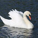 Swans by kalaryder