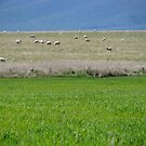 Sheep Grazing Landscape by SuziTC