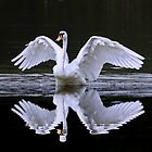 Swan and Reflection ... Two for One by AnnDixon