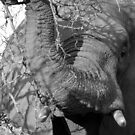 Elephant Close Encounter- Balule, South Africa by pennies4eles