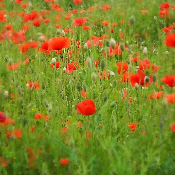 Painted poppies by woolcos