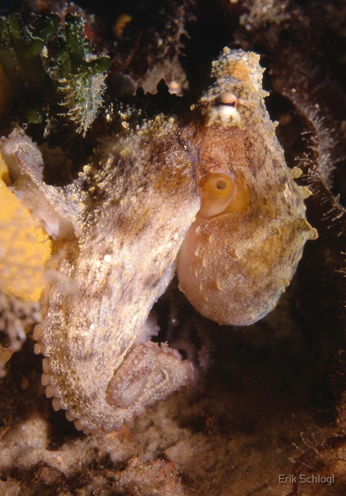Common Sydney Octopus by Erik Schlogl