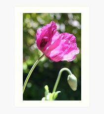 Pink poppy Art Print