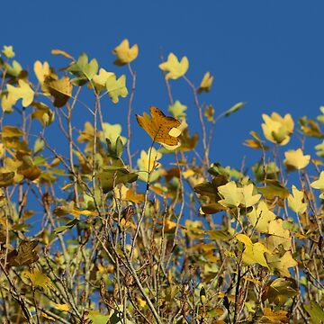 Yellow Leaves & Blue Sky by melips