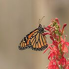 Monarch and Cardinal Flower 2016-1 by Thomas Young