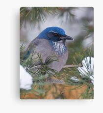Western Scrub-Jay with snow on its beak Canvas Print