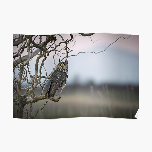 Hunting Imminent -- Long-eared Owl Poster